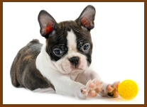 Boston Terrier puppy with ball